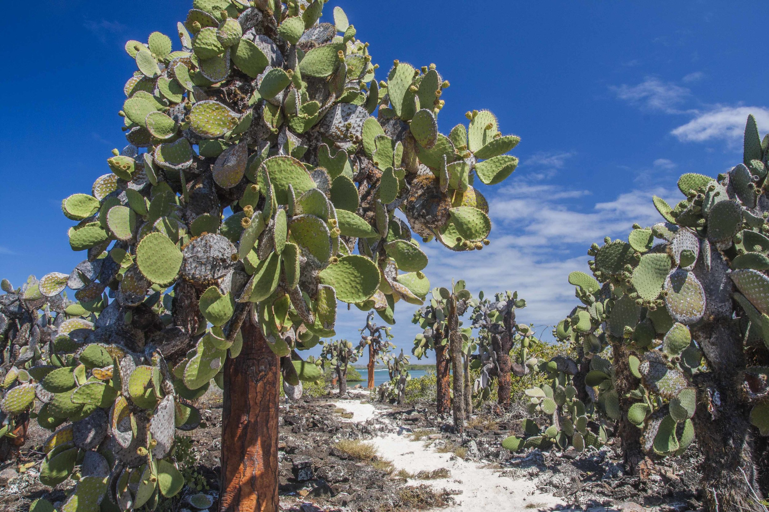 "Another scene from the Galápagos—forest of Opuntia echios var. gigantea at Tortuga Bay, Santa Cruz Island. ""Museum-quality""?"