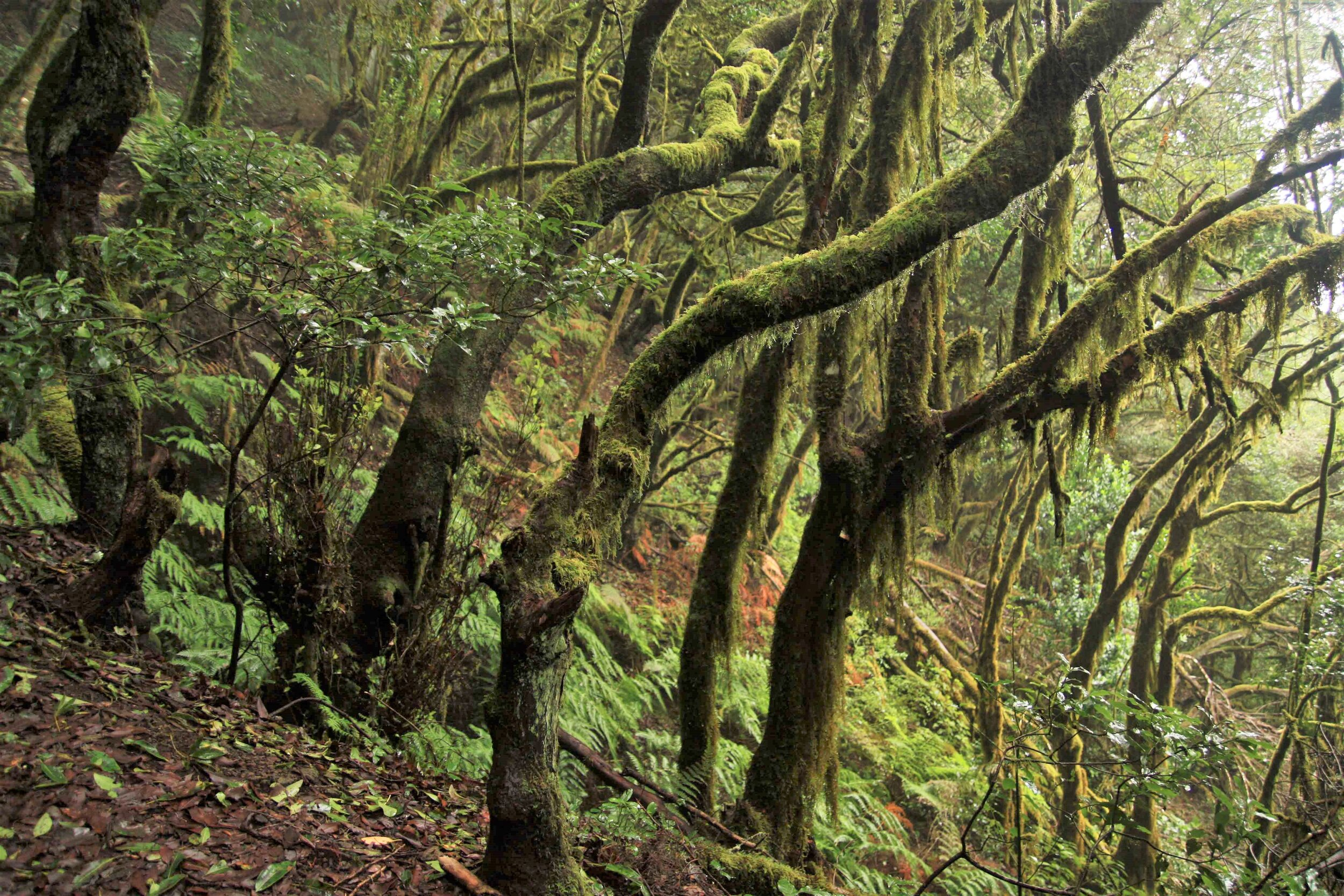 Rare and endangered  laurisilva  (temperate cloud forest) in the La Gomera highlands.