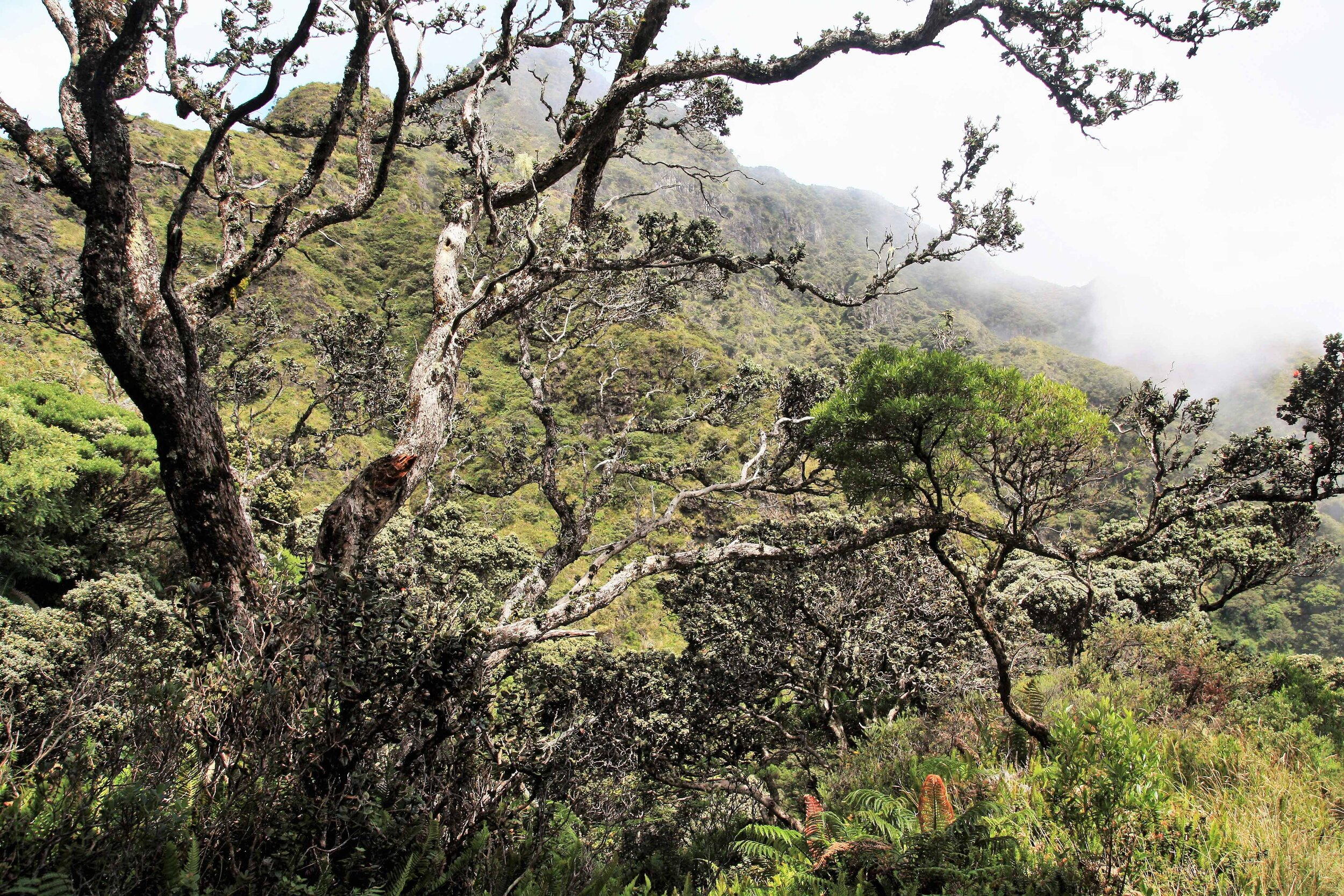 Remnant patch of Maui's little-remaining native cloud forest at the other side of Haleakala Crater.