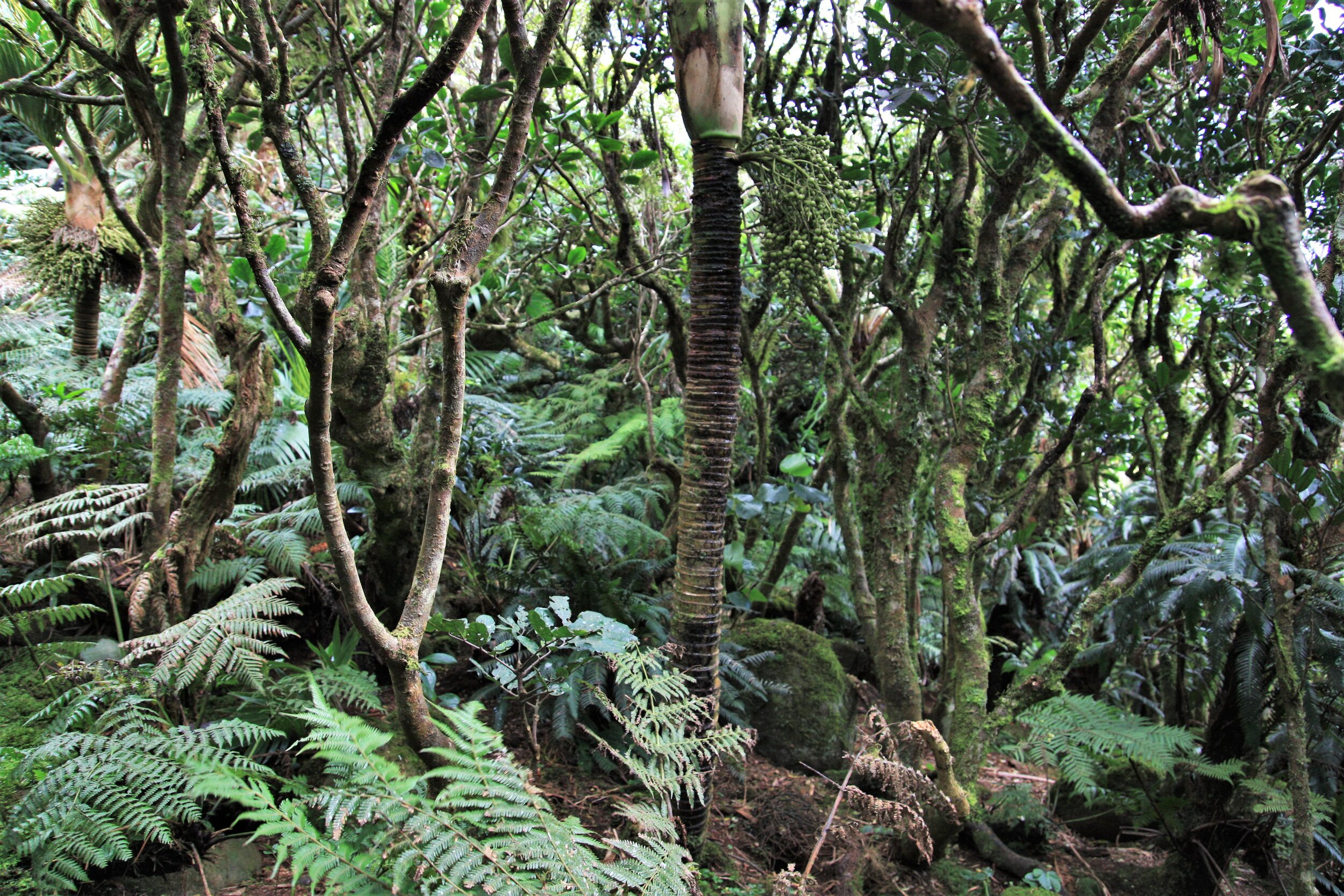 Mist forest at the top of Mt. Gower, an ecosystem unique to Lord Howe. Well-protected and mostly intact, but it won't survive a drying climate.