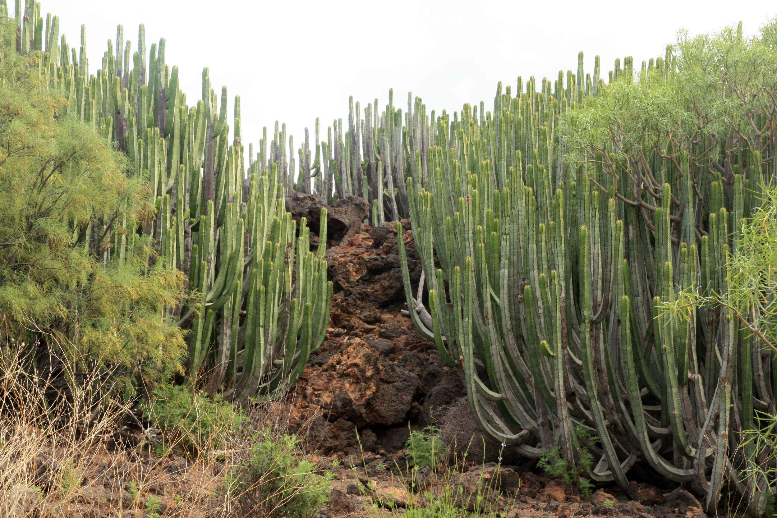 Euphorbia canariensis  in the Malpaís de Guïmar, a lava field on the dry south coast.