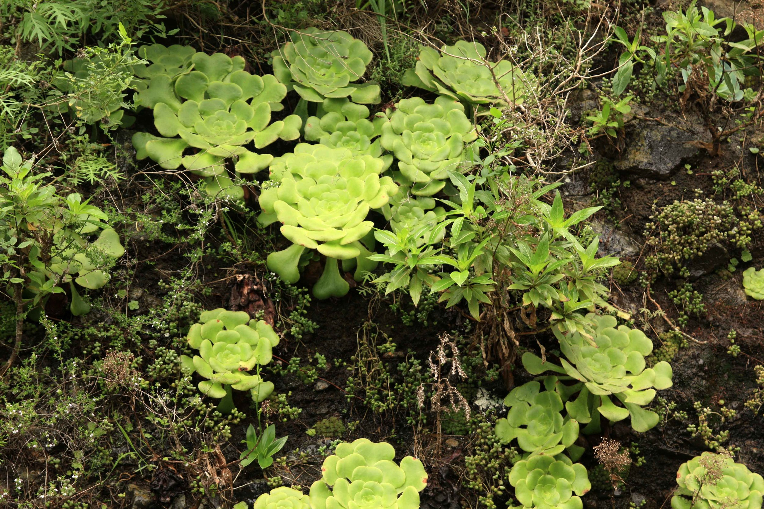 Most species of  aeonium  are endemic to the Canaries, especially rocky areas at wetter elevations.