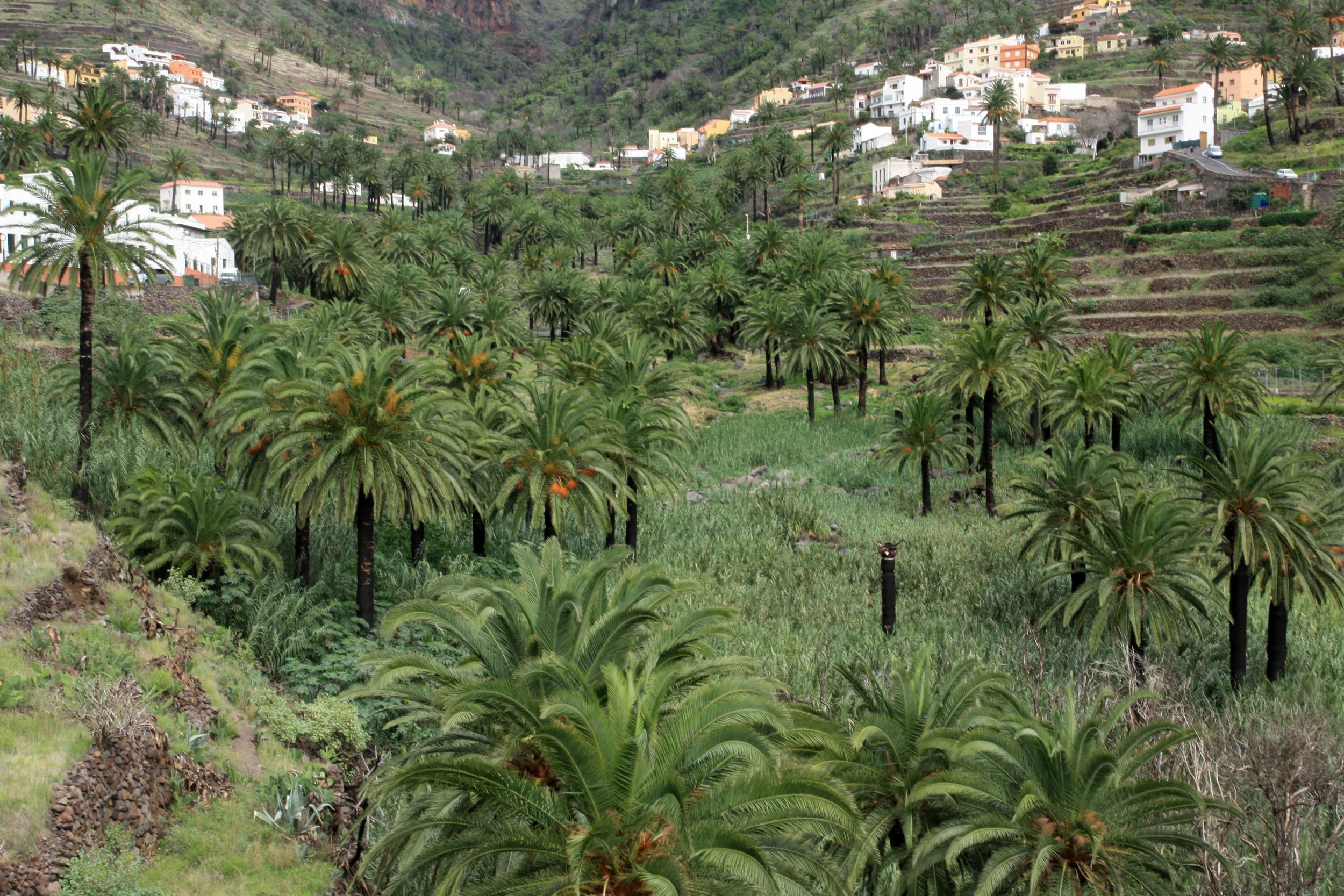 A number of horticultural staples (especially in California) are Canary Island endemics or natives. Here is the endemic  Phoenix canariensis  (Canary Island date palm) on the island of La Gomera.