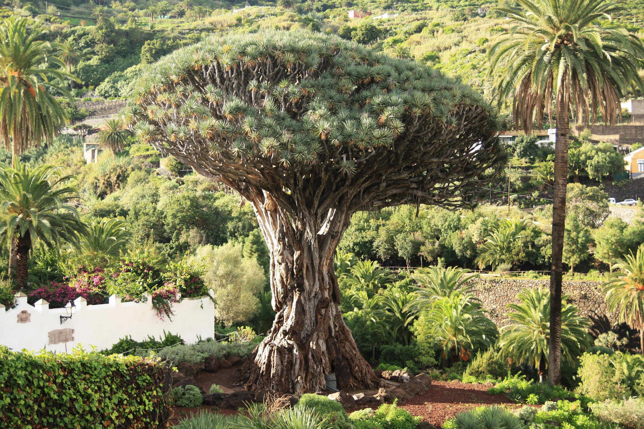 A famous dragon tree ( Dracaena draco ) specimen on Tenerife. Native to the Canaries and Morocco, most exist today only in settled areas.