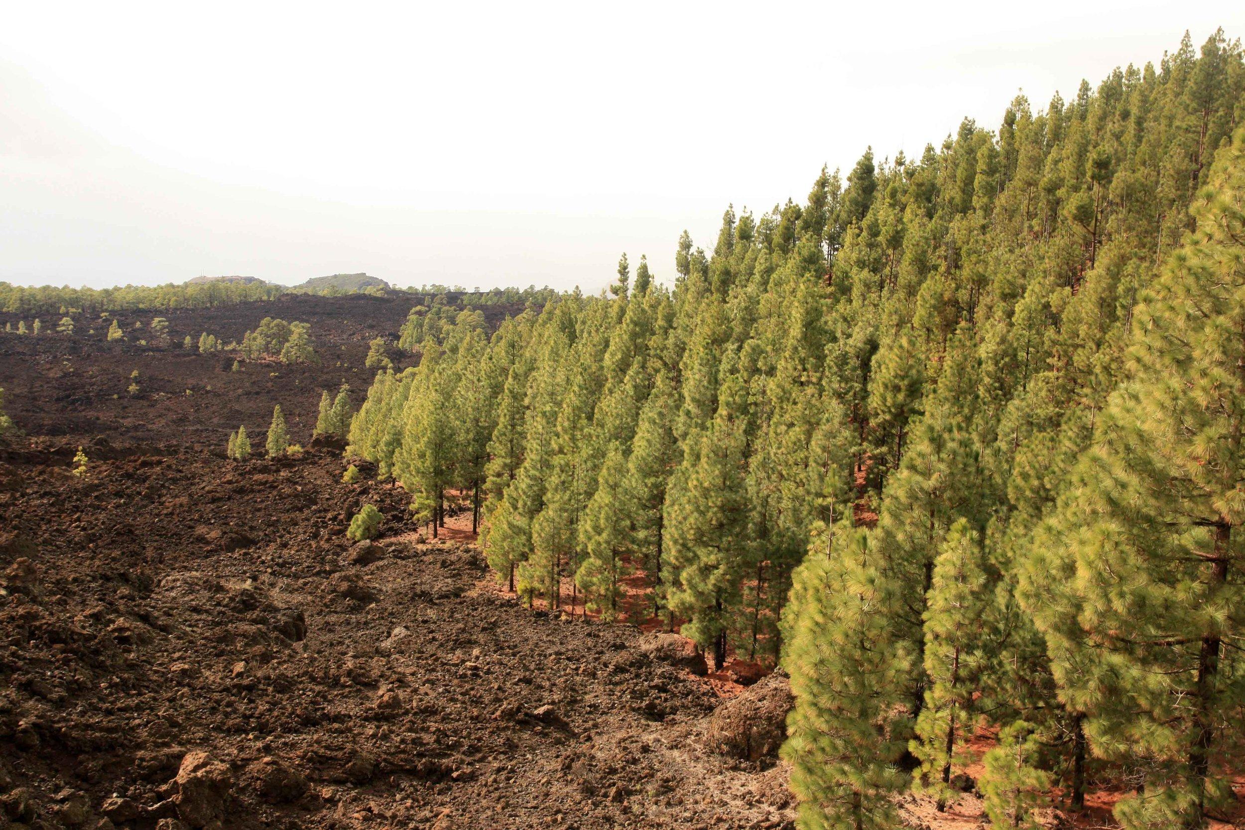 Pinus canariensis  and lava field, approaching the Caldera de las Cañadas.