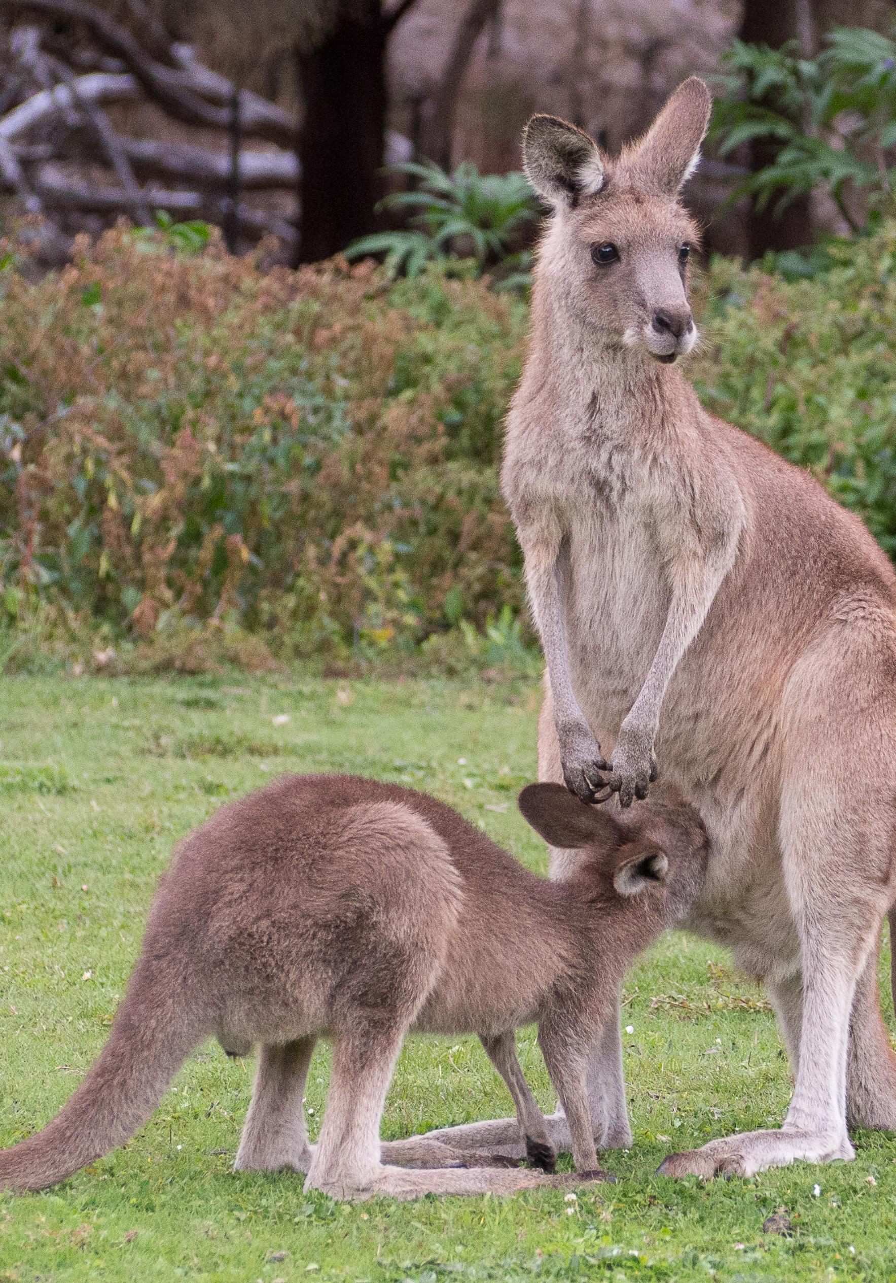 KANGAROO ISLAND, AUSTRALIA -