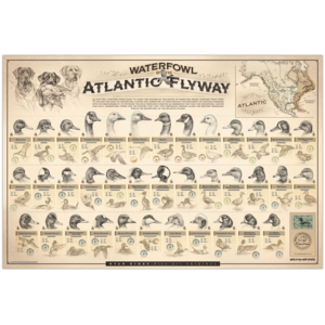 Ryan-Kirby-Waterfowl-Atlantic-Flyway-Poster-Duck-Identification-Chart-Sketches copy.png