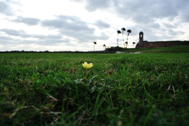 Primrose on the Castillo Lawn