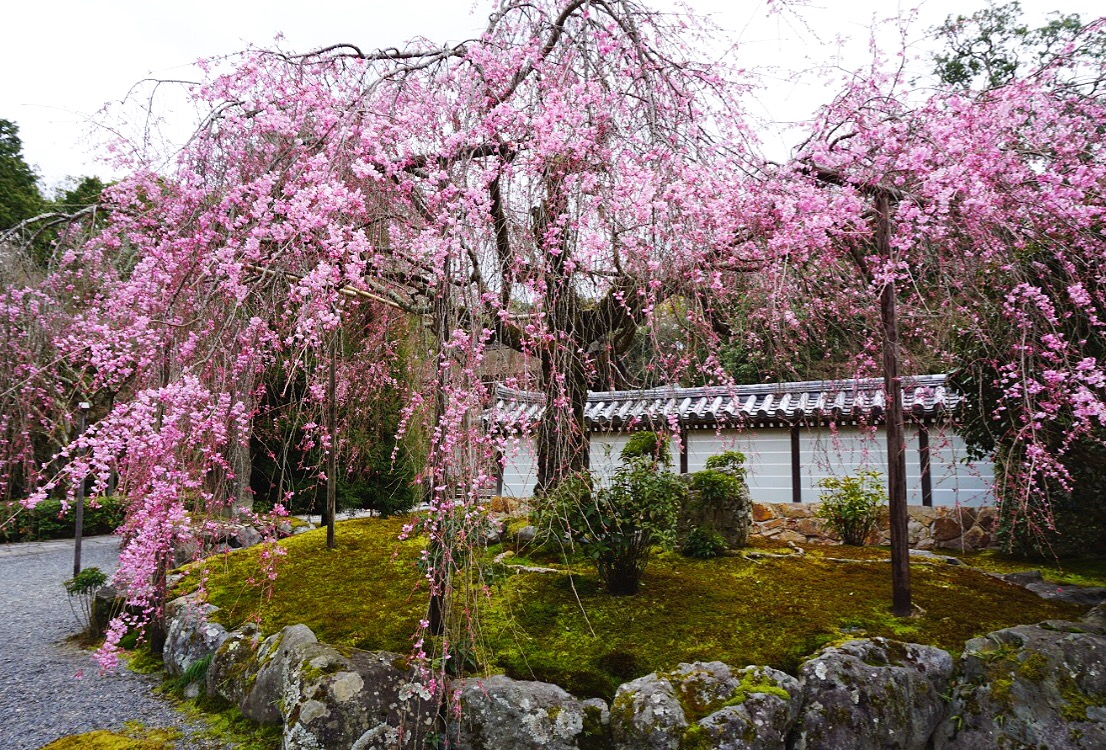 Beautiful Cherry Blossoms at Saihoji Kokedera (Moss Temple)