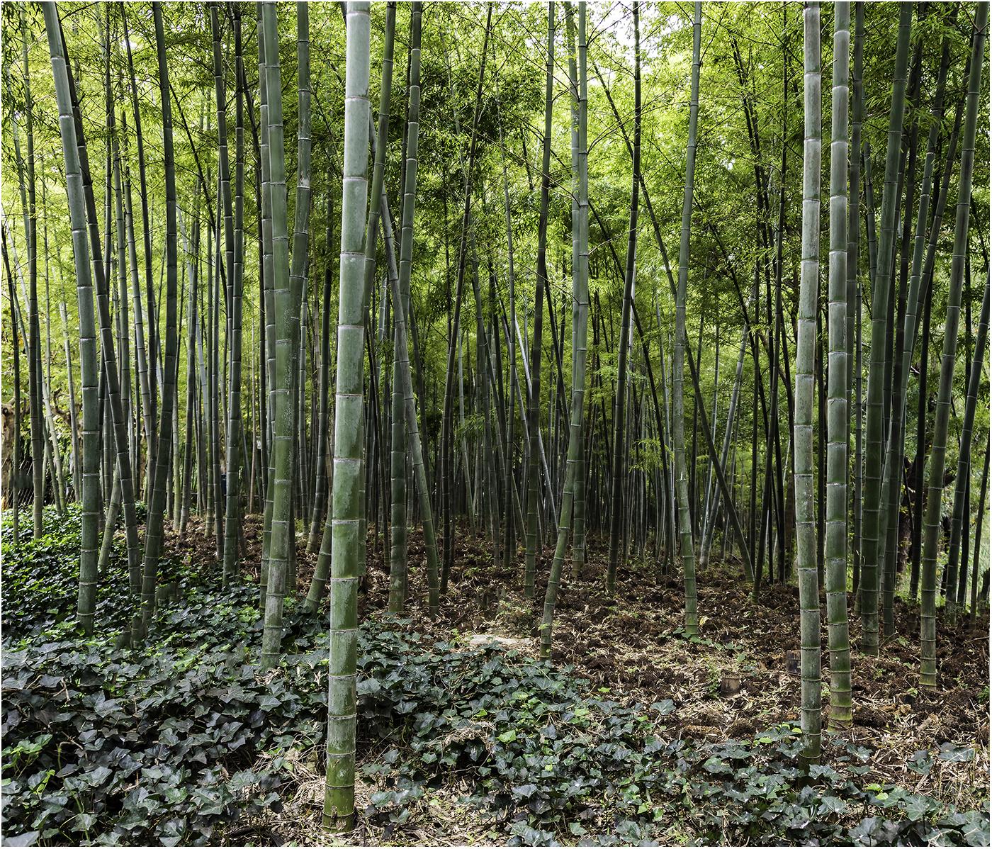 Бамбуковая роща в городском парке