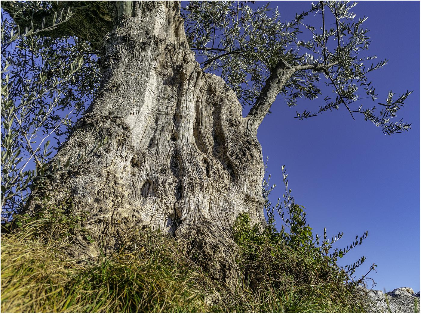 Очень старое оливковое дерево