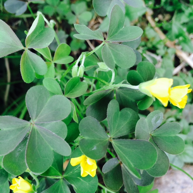 tasty tasty wood sorrel