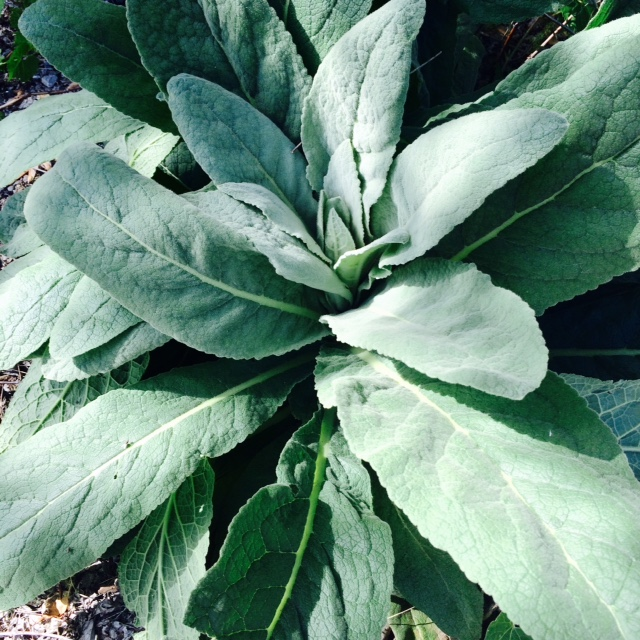a giant, 4-foot across weedy mullein plant in the yard