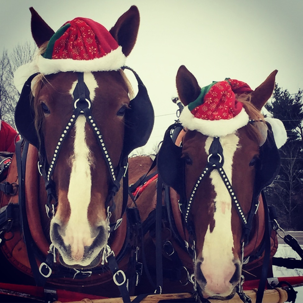Local Belgian Draft Horses that can provide Romantic Sleigh Rides on our Farm for your Stowe Wedding or event.