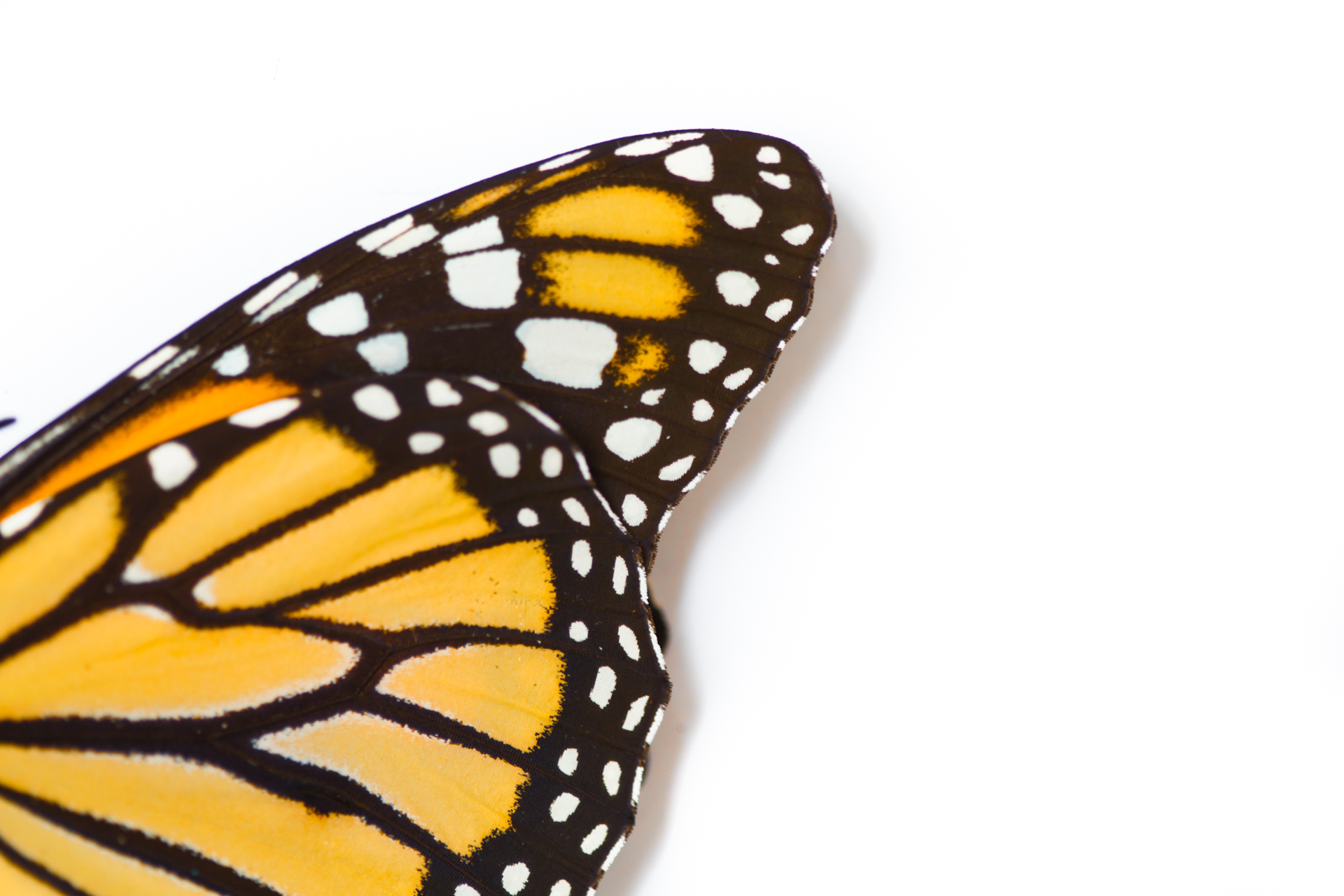 Butterfly_Monarch (2 of 1).jpg