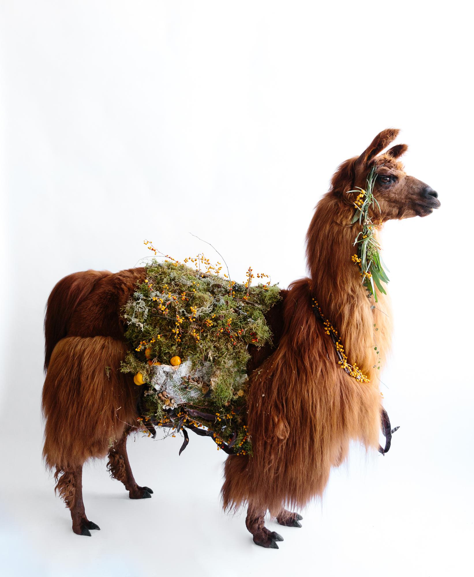 llama_portland_animal-4.JPG