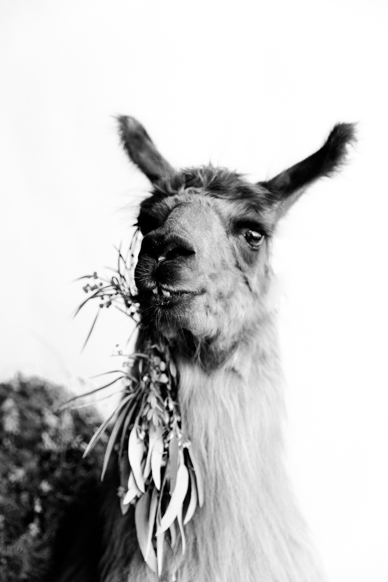 llama_portland_animal-8.JPG