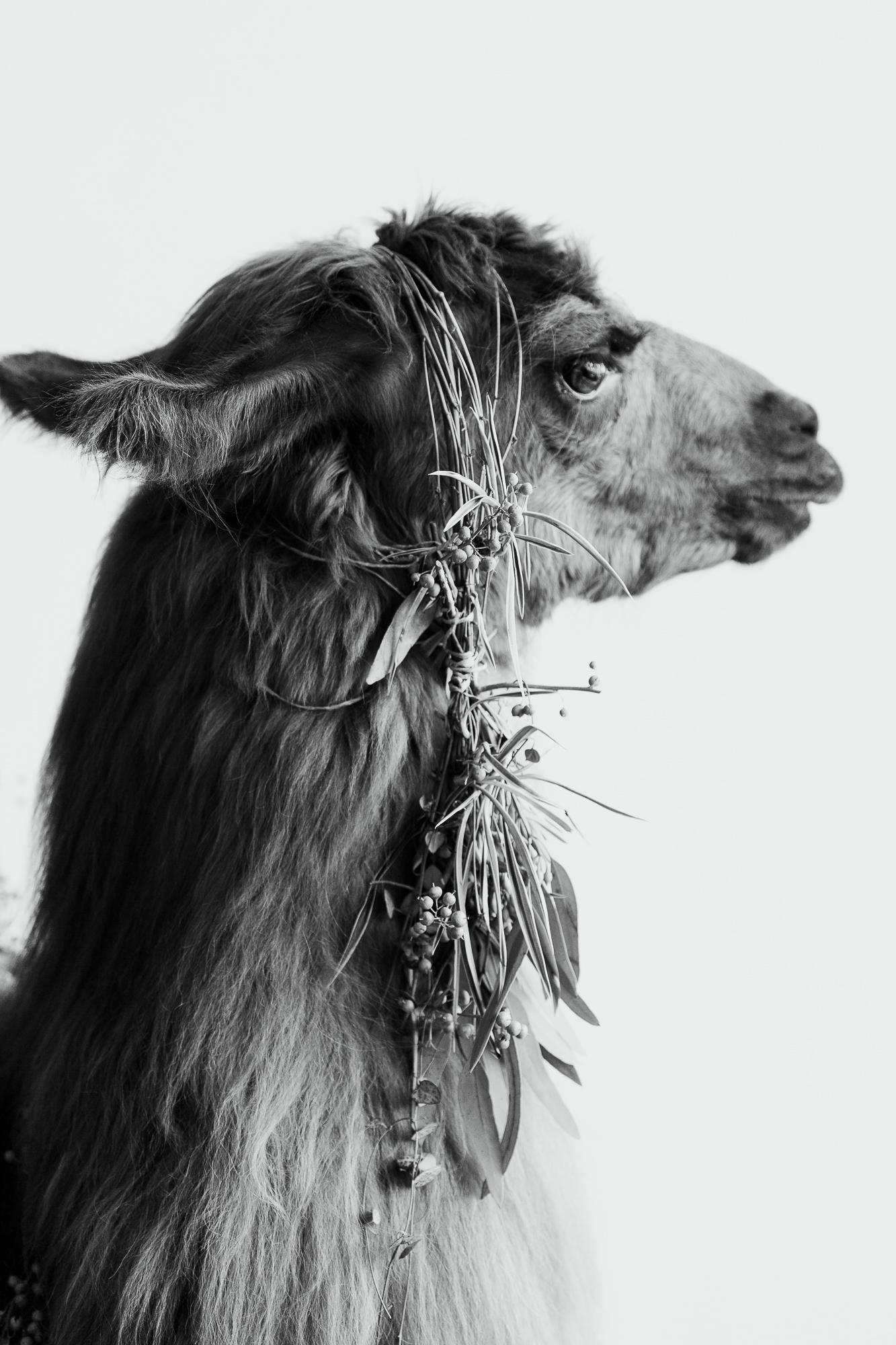 llama_portland_animal-11.JPG