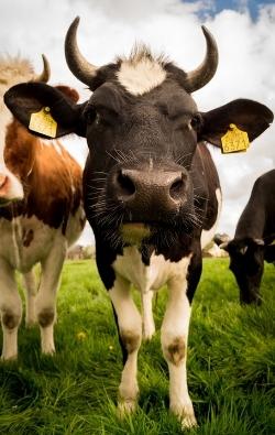 farm insurance cow.jpg