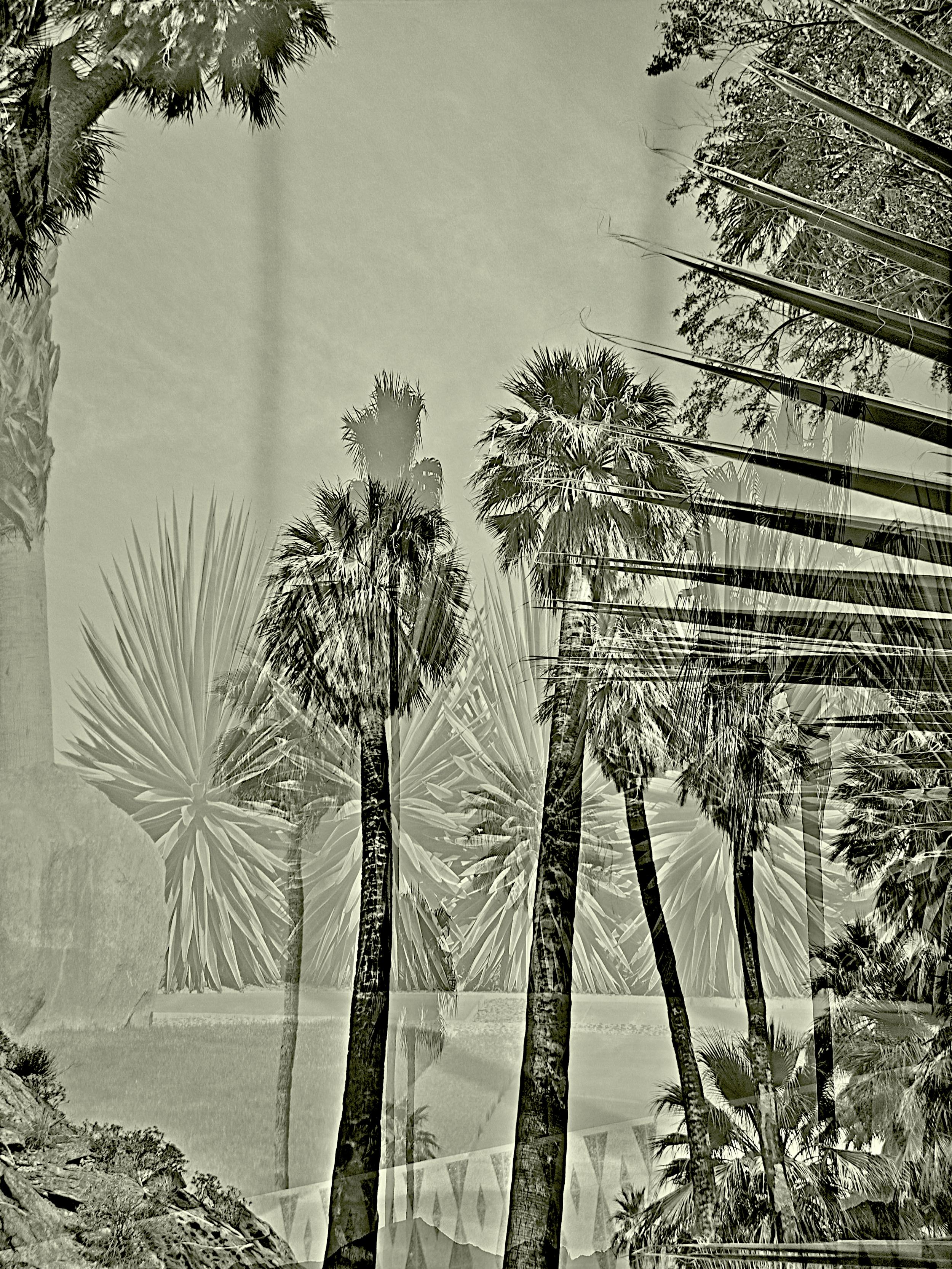 palm springs sepia palms.jpg