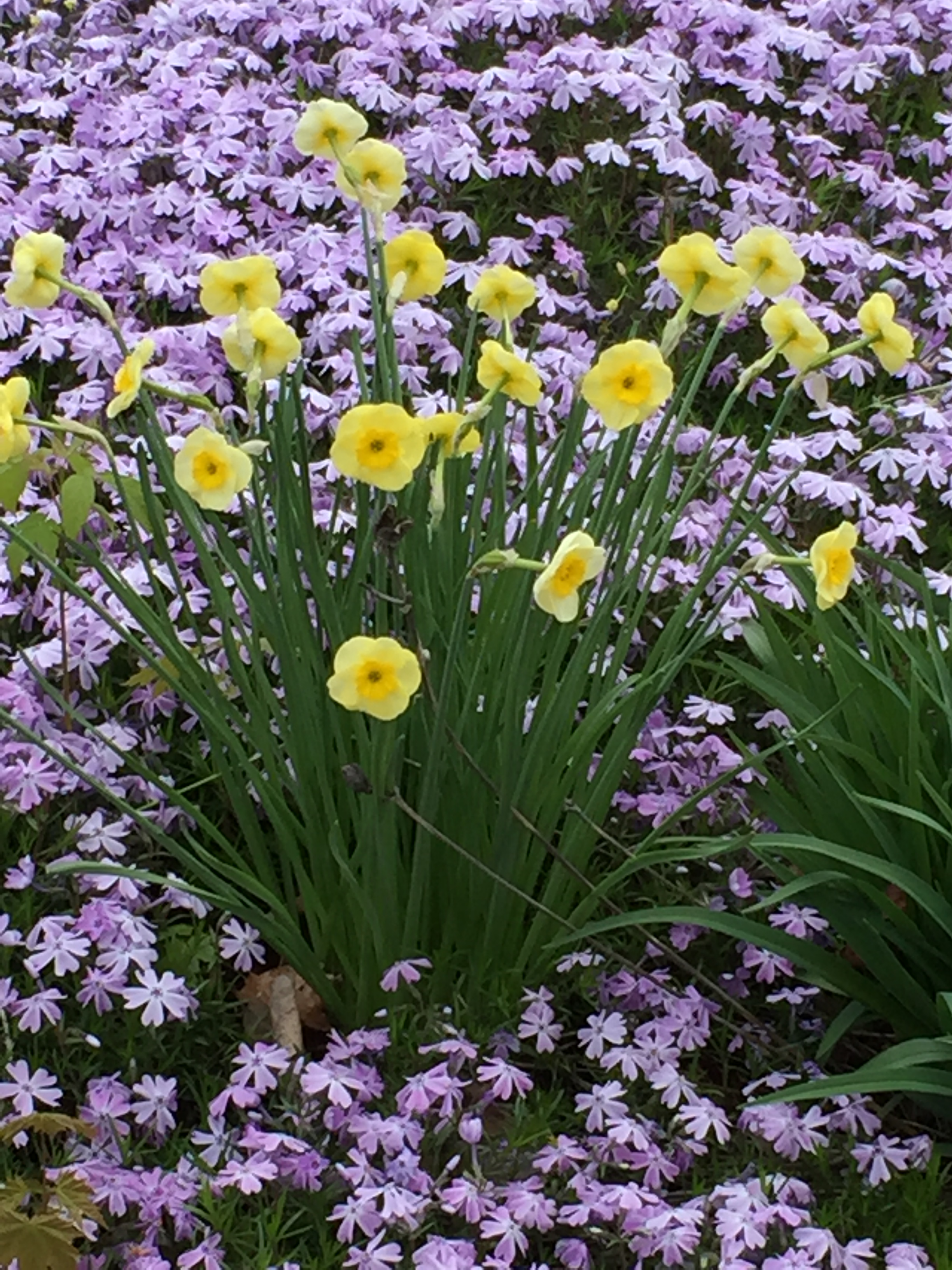 Daffs and Phlox.JPG