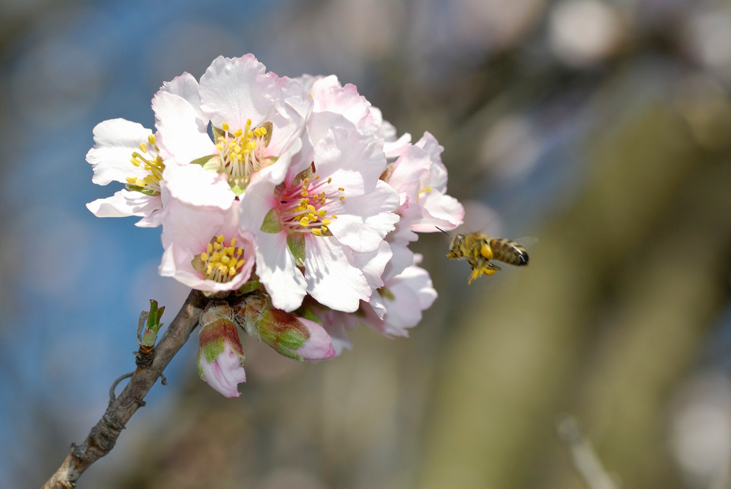 Summit_Premium_Nuts_Blossom_Bee_web.jpg