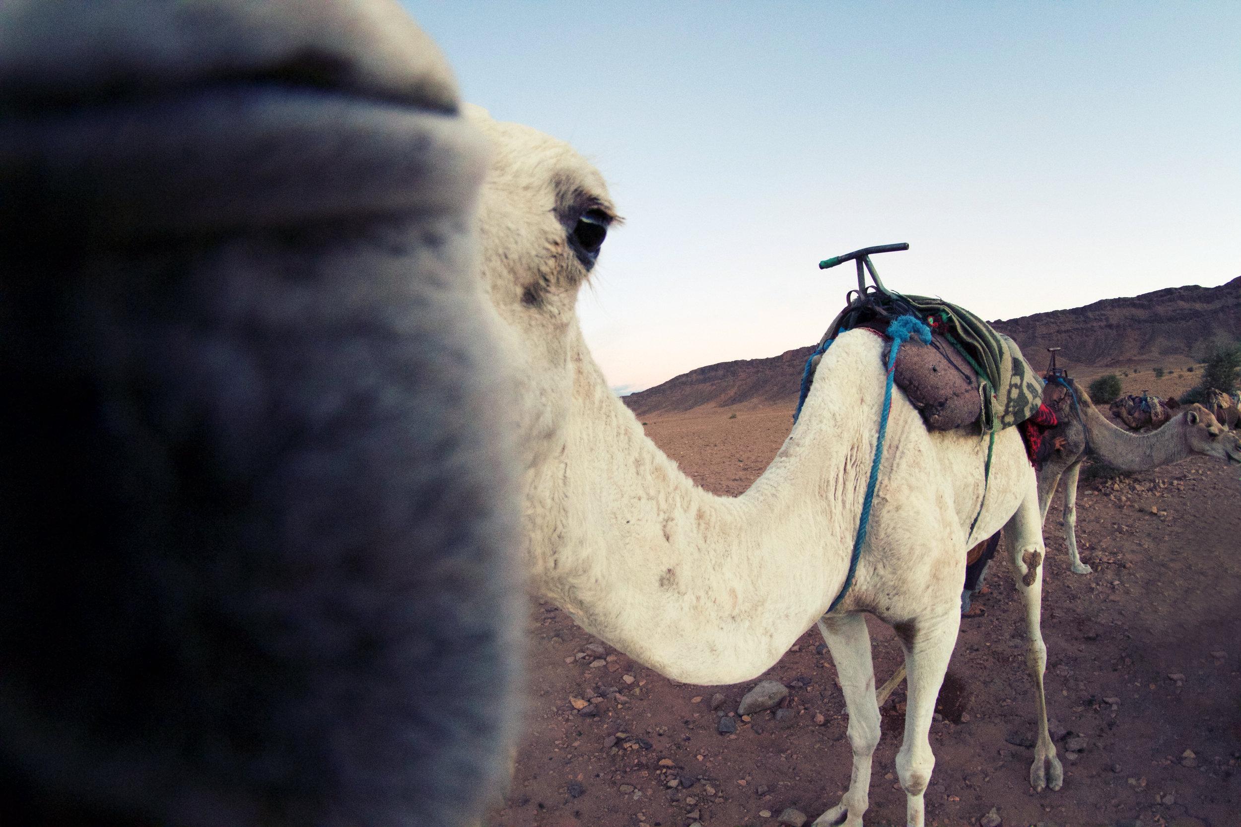 Morocco -Camel Kiss.jpg