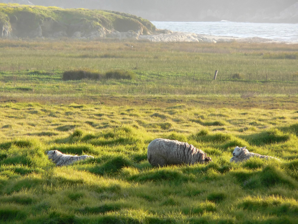 carmel_mission_ranch_sheep.jpg