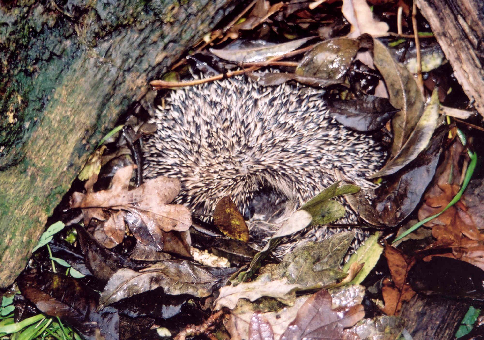 Credit: Jersey Hedgehog Preservation