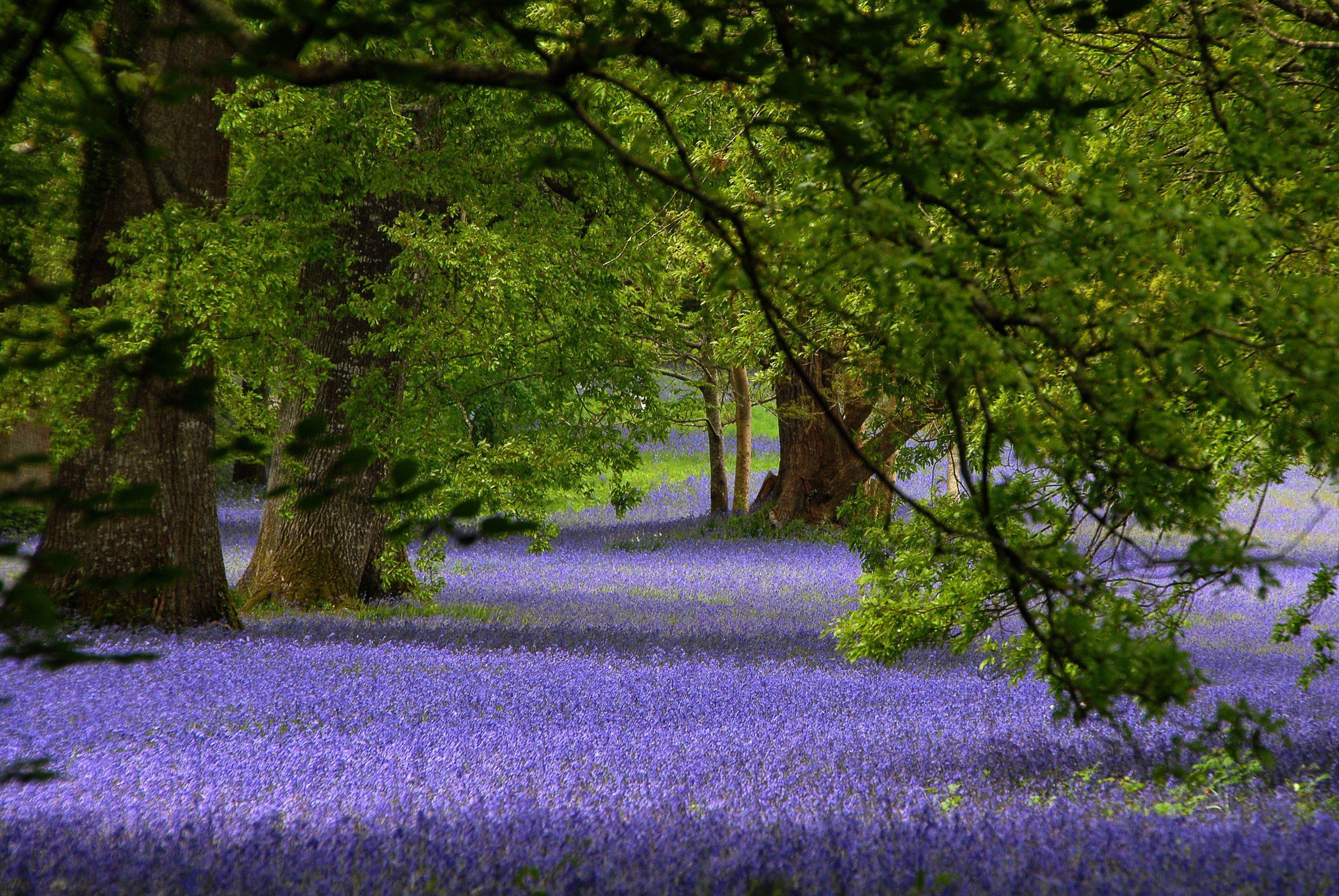Reginald Poad - Ancient Bluebell Woods Enys Penryn
