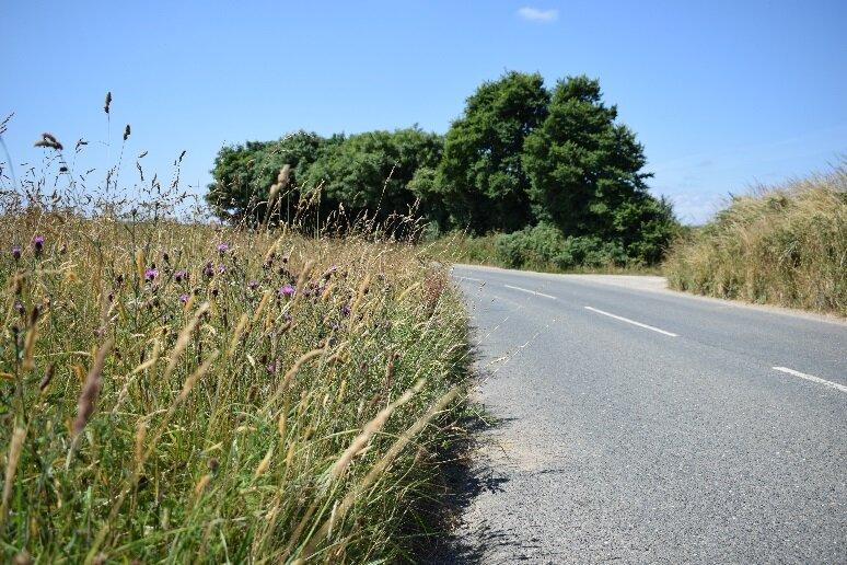 A road verge in summer (near Veryan, on the Roseland Peninsula).