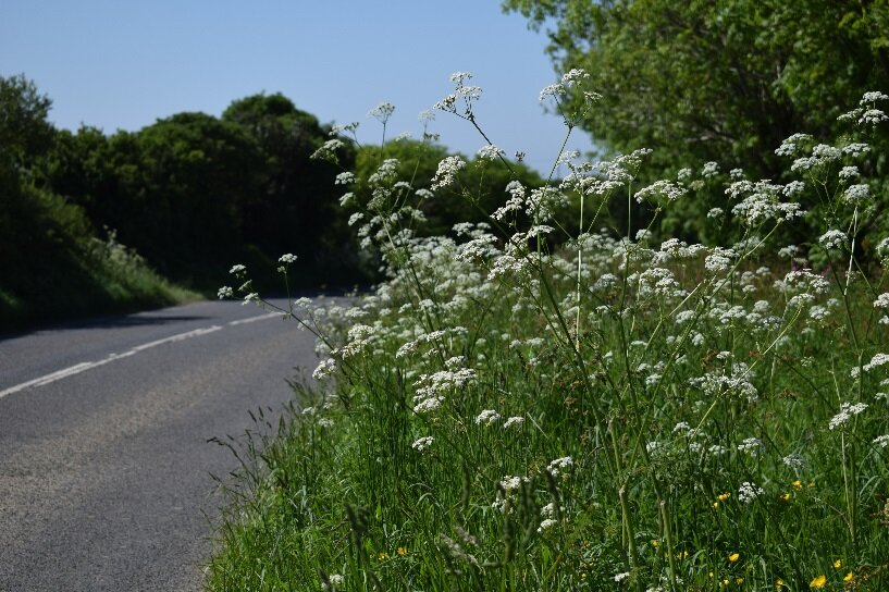 A road verge full of cow parlsey (Anthriscus sylvestris) near Ruan High Lanes on the Roseland Peninsula.