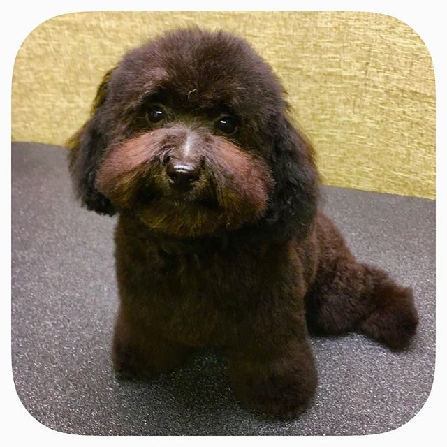 Chewey is a four month old miniature poodle and very good! #astrodoggrooming