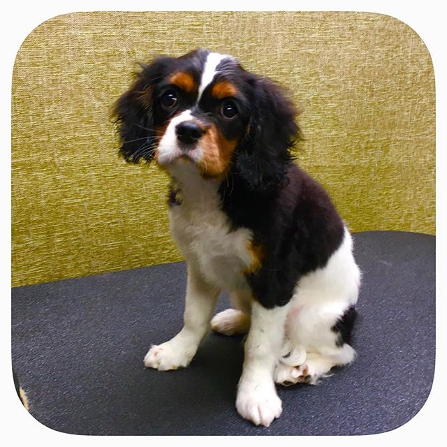 Roscoe the Cavalier King Charles Spaniel Puppy stopped by today! #astrodoggrooming