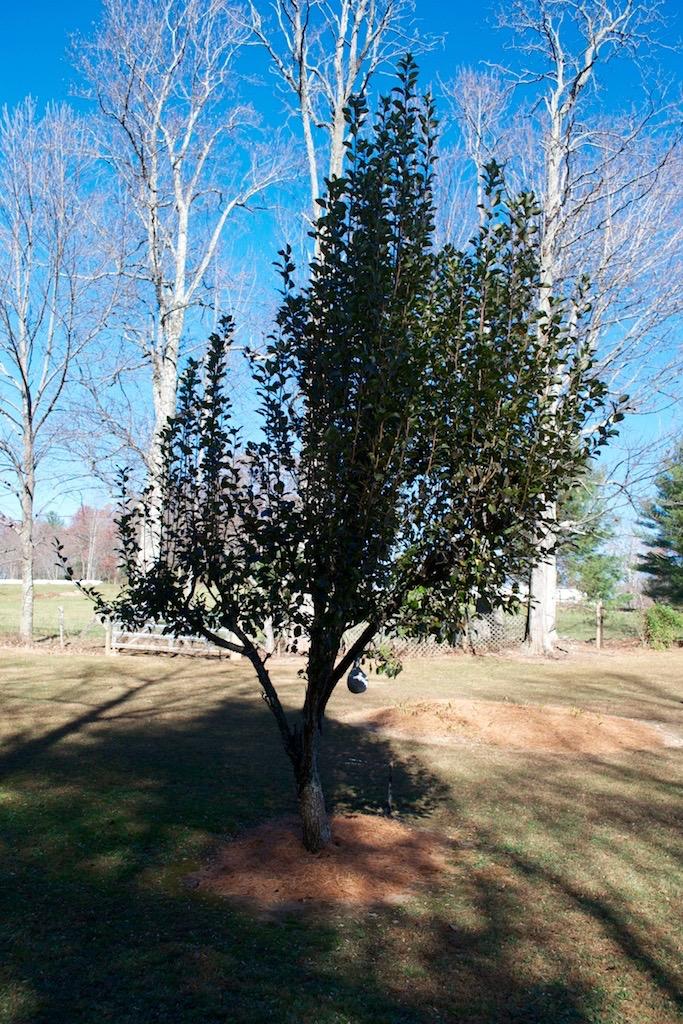 Yard-5 Fruit Tree.jpg