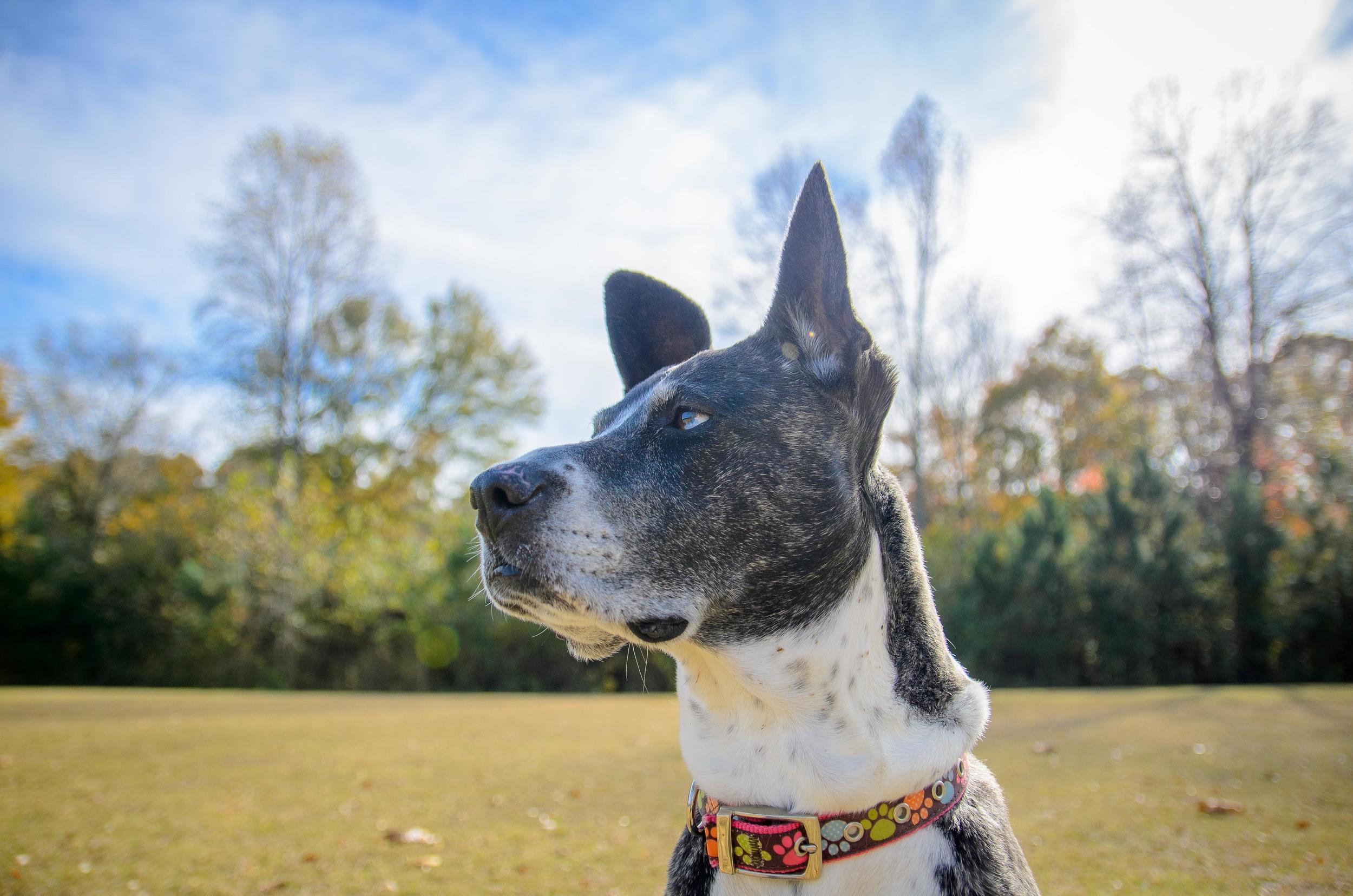 Dog_walking_in_Atlanta_Decatur.jpg