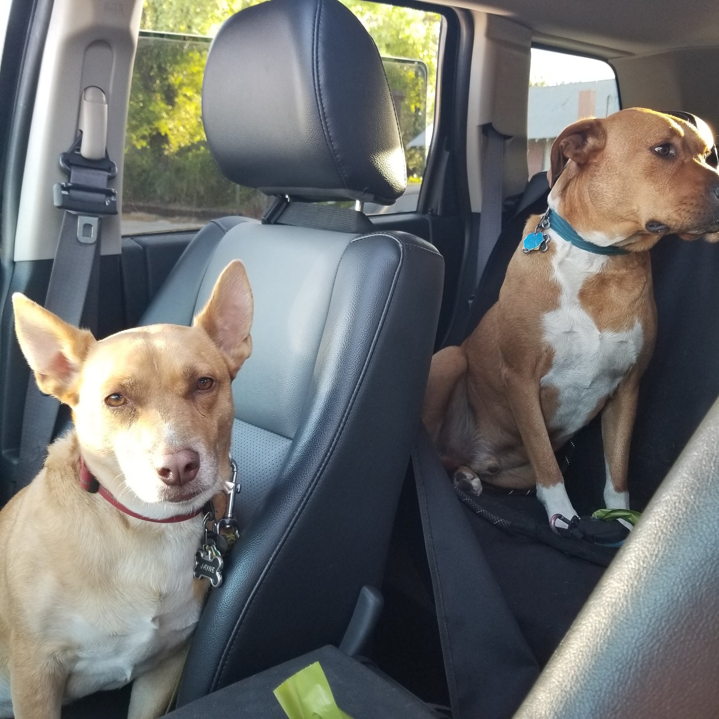 The pups enjoying a nice ride around in Waverly aka my Jeep.