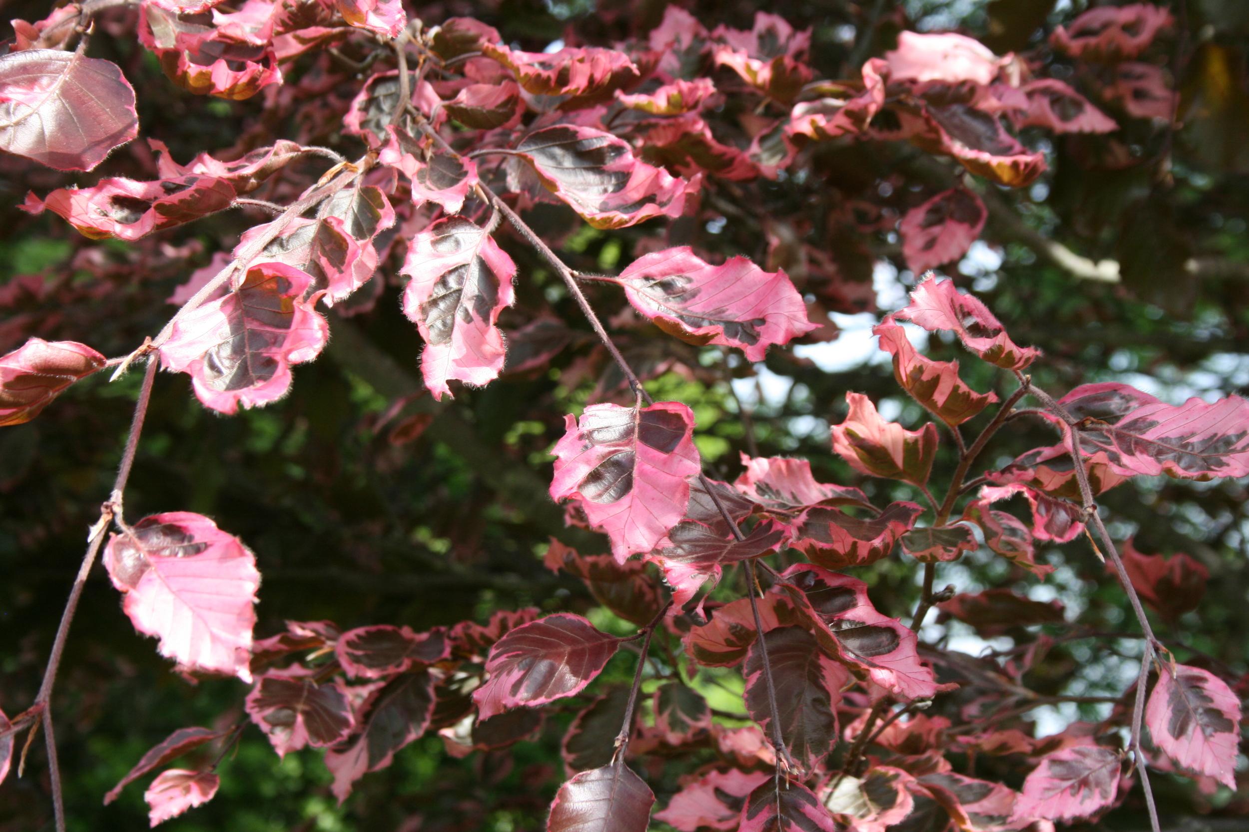 8Fagus, tricolor leaves.JPG