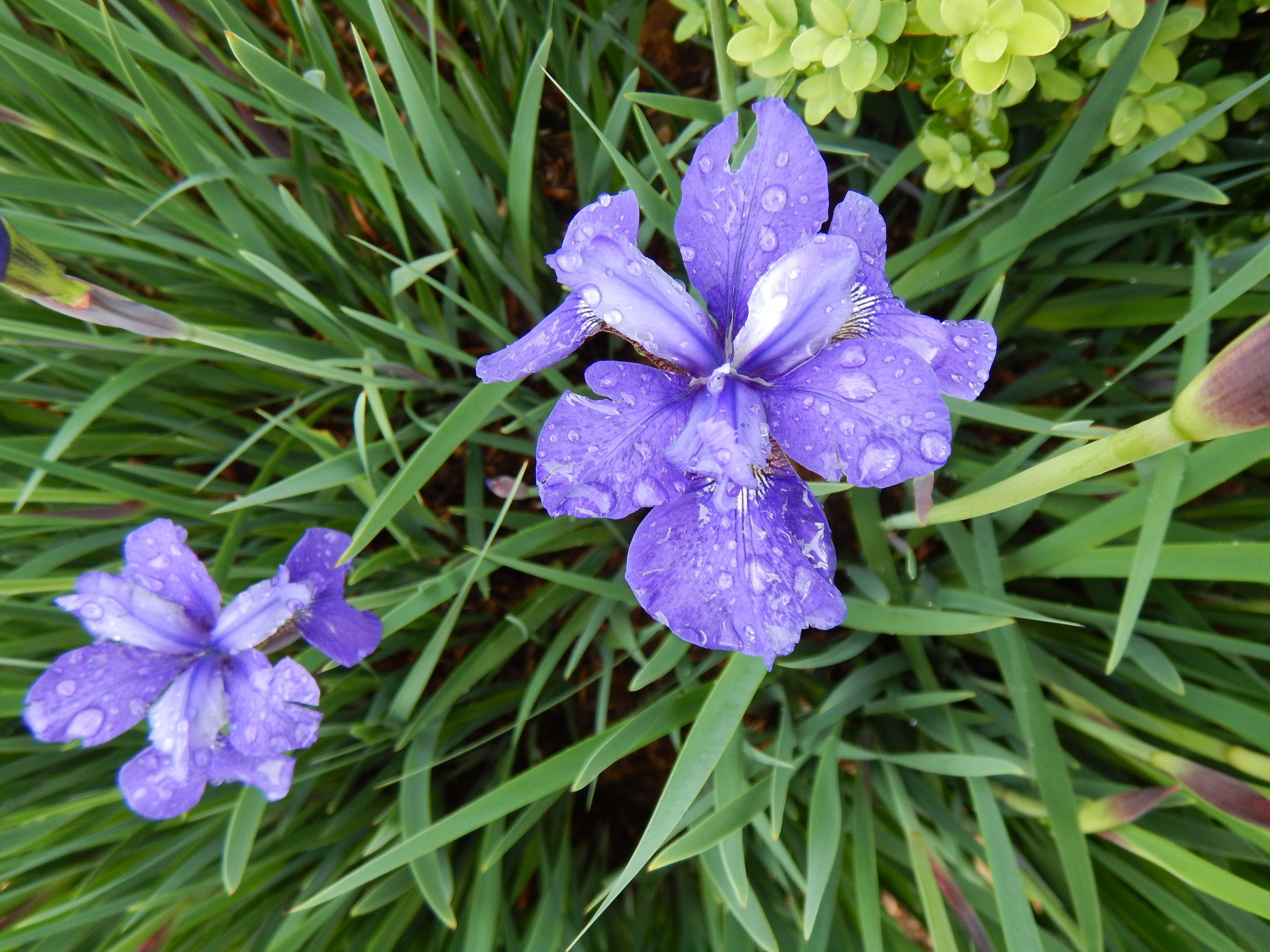Peonies, snaps and Iris are blooming despite the rain.