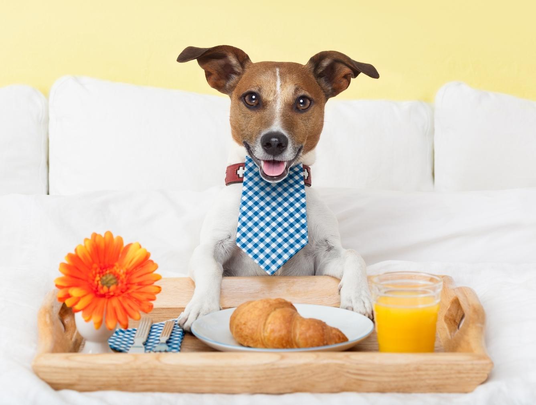 stock-photo-dog-having-nice-breakfast-in-white-bed-199218467.jpg