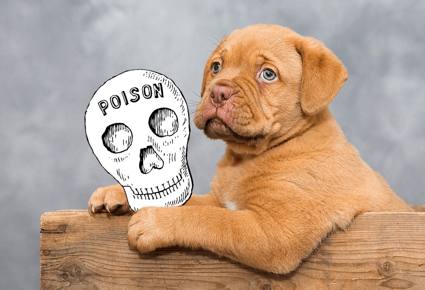 dogue-de-bordeaux-v2.jpg