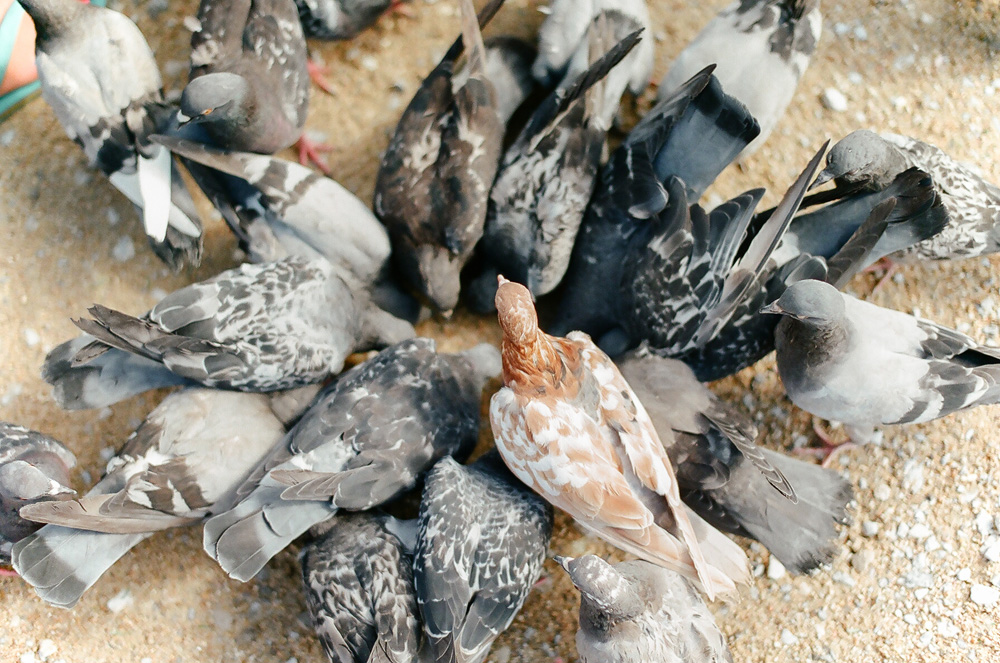 pigeons paris