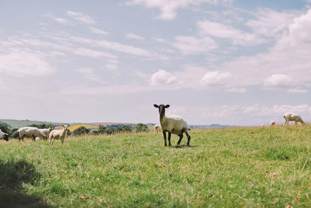 cornwall sheep