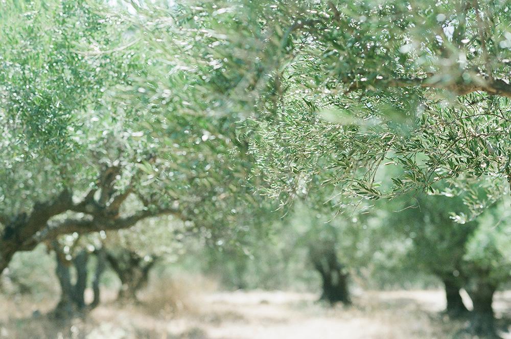 Crete olive trees