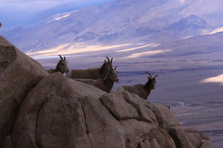 Sierra Nevada Bighorn Sheep Foundation
