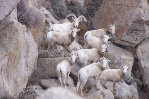Habitat Sierra Nevada Bighorn Sheep Foundation