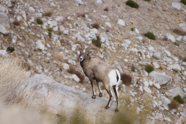 News Events Sierra Nevada Bighorn Sheep Foundation