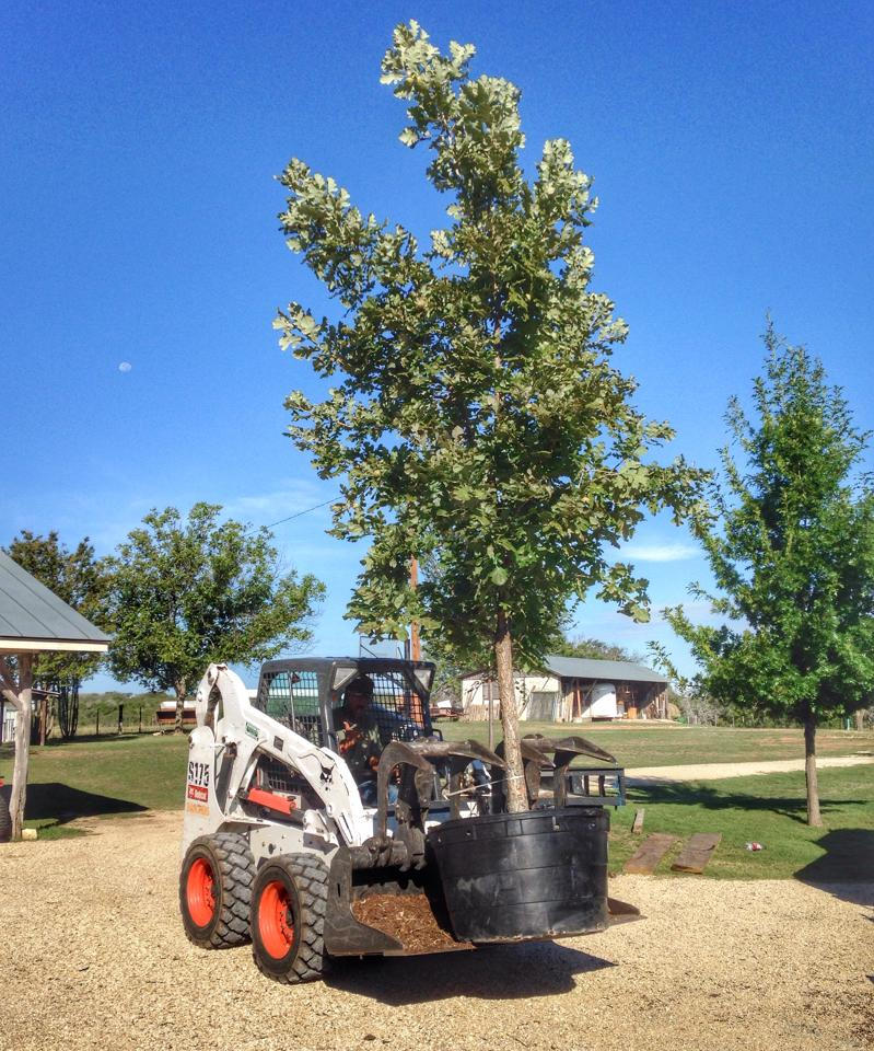 Toting a 20' tall Burr Oak on a tree planting project near Kerrville, Tx.