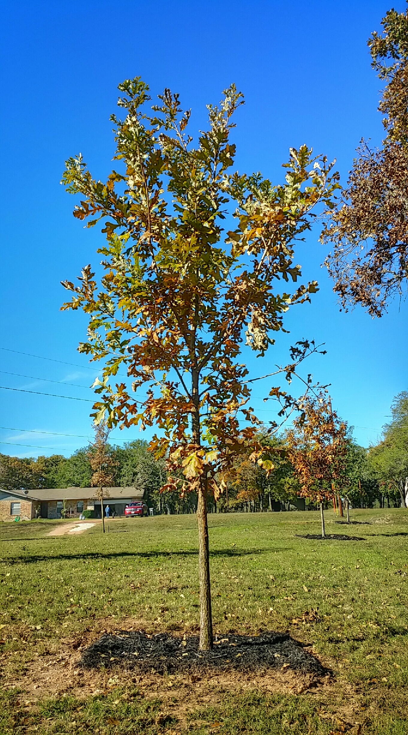 A beautiful Bur Oak such as this one will provide generations of shade, comfort, and curb appeal. Certainly a secure investment with enduring value.