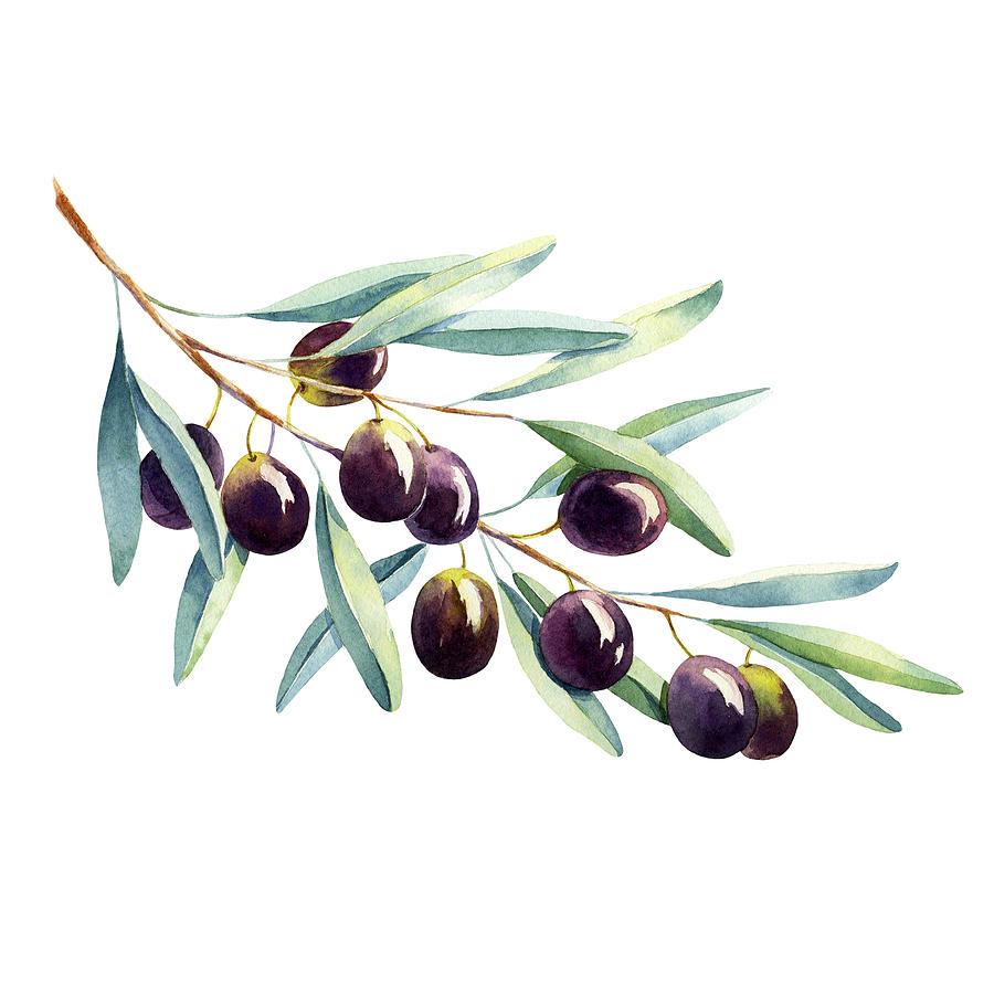 watercolor-olive-branch-on-white-background-elyaka.jpg